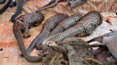 Hingeschmissen wie ein Stück Dreck: Verstümmelte Schuppentiere werden auf einem Markt in Libreville (Gabun) zum Verkauf angeboten – zum Preis von 22 bis 150 Euro