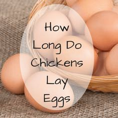 How long do chickens lay eggs? a chicken will be able to lay anywhere from 1400 to 1600 eggs in its life time. This means a chicken will lay eggs for....... #raisingchickensforeggs