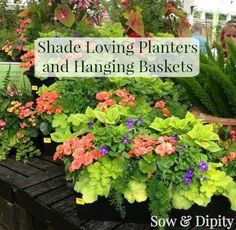 Shade plants for planters and hanging baskets