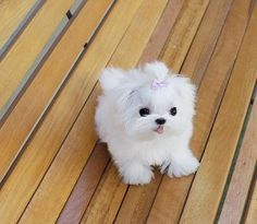 25 Best Dogs For Sale Images Cute Puppies Cutest Animals Cutest Dogs