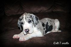 My future blue merle great dane dream dog :D