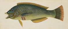 Mark Catesby (1722-26), watercolor and bodycolor (courtesy Royal Collection Trust, © Her Majesty Queen Elizabeth II)