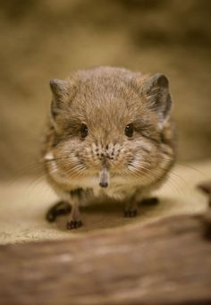Little Sengi. Sengis are related to Manatees, Aardvarks, Hyraxes, and Elephants!