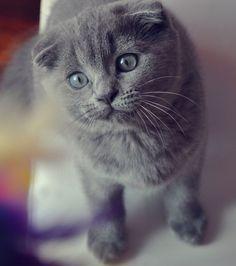 Si la plupart des chats sont des animaux croisés de différentes races, les pures races gardent des traits physiques...