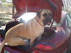 """""""Does this car make my butt look big?"""" This is my English Mastiff, Sergeant, as a one-year-old. He thought he was going to go for a ride like he does in our truck. Ummm...don't think so!"""