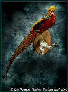 Golden Pheasant Taxidermy Mount