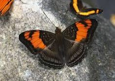 Image result for smooth banded sister adelpha cytherea butterfly images