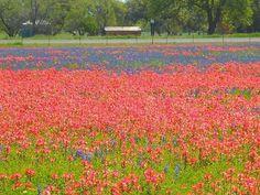 From Texas Parks & Wildlife FB page, photo by Monica Macias. Field of wildflowers near Poteet, TX. Indian Paintbrush Flowers, Life Is Beautiful, Beautiful Places, Eyes Of Texas, Texas Parks, Texas Bluebonnets, Loving Texas, Grand Prairie, Texas Usa