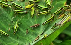 An infestation of grasshoppers on taro leaf