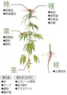 大麻の有効利用