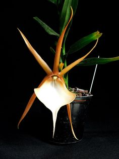 Angraecum viguieri; highly night-fragrant flowers appear in spring or fall on the small/medium sized beautiful orchid. Flowers last several months. Avoid repotting, as it resents root disturbance.
