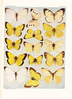 1903 Butterfly Print  Vintage Antique Book Plate for por Holcroft