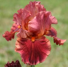 Photo of Tall Bearded Iris (Iris 'Drinks at Sunset') uploaded by Snork