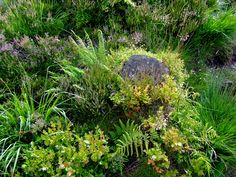 https://flic.kr/p/54A5qA | Bilberries and heather | Typical ground cover on the slopes of Criffel. There were bilberry plants, several varieties of heather, cotton grass, sphagnum and other types of moss, tormentil, various ferns, grass, marsh grass and one or two other low-lying plants. Very rich, but horrible to walk on - loads of big holes in the peat completely concealed by the herbiage. How I didn't twist my ankle on one of the many occasions I slipped into one of those holes I'll…
