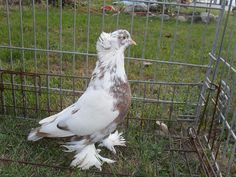 Red Grizzle Hungarian House Pigeon