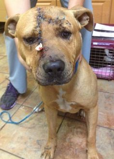 Injured Pit Bull axed in head recovering; over $13,000 reward offered to find dog's attacker