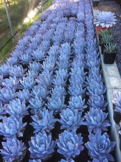 Photo: protractedgarden.com. Echeveria cante lined up in pretty rows of blue. http://protractedgarden.com/2013/09/26/echeveria-cante-one-of-my-favorites/  #echeveria_cante #succulents_blue