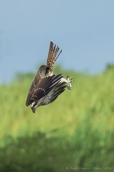 """Osprey in action"