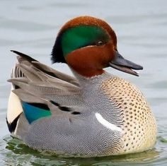 Green-winged Teal (Anas crecca carolinensis) - northern areas of North America except Aleutian Islands Luv A Duck, Teal Duck, Beautiful Birds, Animals Beautiful, Cute Animals, Duck Species, Ducky Duck, Cute Ducklings, Duck Pictures