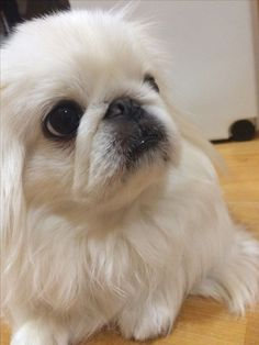 Yorkies, Pekingese Puppies, Cute Baby Puppies, Cute Dogs, Fu Dog, Dog Cat, Lion Dog, Cool Pets, Beautiful Dogs