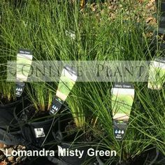 Lomandra Misty Green is a fine foliaged Lomandra, great for landscaping with its fountain of grey green leaves.