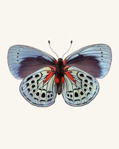 Charles Darwin Butterfly / Callithea philotima.  Fine art print by Allison Trentelman   rockytopstudio.com