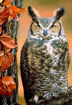 Great Horned Owl.  #fall #autumn #owl