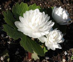 Bodembedekker Schaduw: Sanguinaria Canadensis (bloedwortel