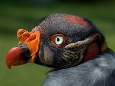 King Vulture  Photograph by Jacky Gerritsen