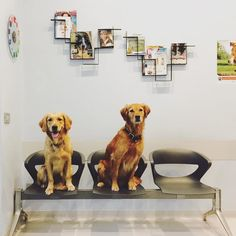 Amira and Melachi - Mika's golden retriever gun dogs