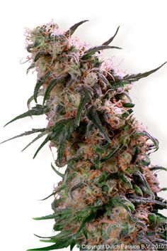 Dutch Passion Super Haze - beautiful buds #cannabis #maryjane #marijuana