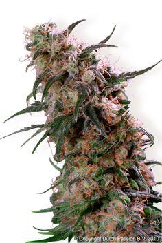 Dutch Passion Super Haze - beautiful buds #cannabis #maryjane #marijuana