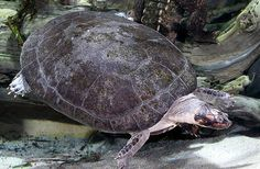 Giant South American River Turtle - Podocnemis expansa
