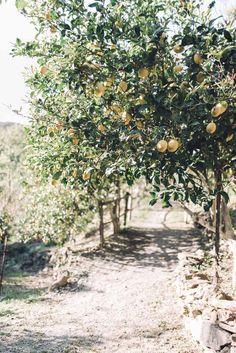 lemon trees in chania