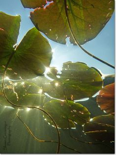 Under the Lily Pads by ShawnGrenningerPhoto, via Flickr