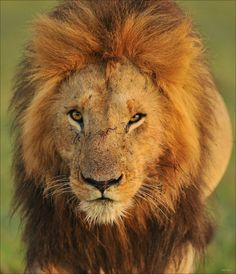 Face to Face With Lion in Kenya  by Elmar Weiss