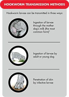 Intestinal Parasites in Dogs: Hookworm Transmission Intestinal Parasites, Goat Care, Vet Assistant, Dog Milk, Surgical Nursing, Animal Medicine, Feeling Under The Weather, Cesar Millan, Vet Med