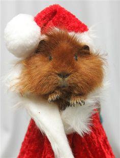 guinea Pig with a cute Christmas costume