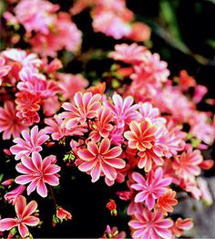 One of the Northwest's most beautiful wildflowers, lewisia bears charming pink, red, and white flowers in spring and summer. Their evergreen foliage is a great winter accent, too. Tip: Lewisia needs excellent drainage and does well in rock gardens. Name: Lewisia cotyledon Growing Conditions: Full sun and well-drained soil Size: To 1 foot tall Zones: 6-8/