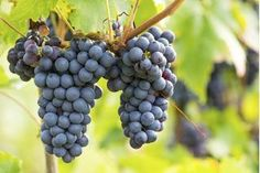 If you are lucky enough to live in an area where Concord grapes are grown, you can make a simple wine using the fresh grapes. For every gallon of wine you plan to make you will need approximately 6 to 8 pounds of fresh, clean Concord grapes. Concord Grape Wine Recipe, Wine Making Supplies, Wine Making Kits, Grape Wine Recipes Homemade, Making Wine From Grapes, Wine Yeast, Barolo Wine, Malbec Wine