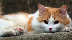 Turkish Van Cat- we have one and she is definitely the spicy one in this household.