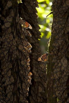 Monarch butterflies hibernate at the oyamel forest in Piedra Herrada sanctuary in Temascaltepec, Mexico.