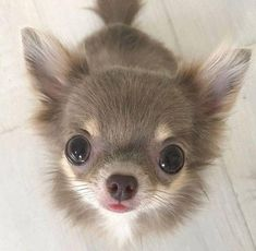 What is a blue chihuahua? How are blue chihuahua puppies different? Cute Puppies, Cute Dogs, Dogs And Puppies, Puppies Puppies, Awesome Dogs, Collie Puppies, Dachshund Puppies, Baby Dogs, Beautiful Dogs
