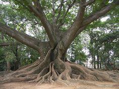 SANSE! SANTERISMO! PUERTO RICAN BRUJERIA & ESPIRITISMO!: Sanse Tradition, The Ceiba Tree of Life