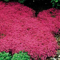Red Creeping Thyme (Thymus Serpyllum 'Magic Carpet') hardy drought tolerant perennial, pink lemon-scented blooms all summer, inches tall. Red Creeping Thyme, Thymus Serpyllum, Landscape Design, Garden Design, Desert Landscape, Ground Cover Plants, Perennial Ground Cover, Lawn Care, Lawn And Garden