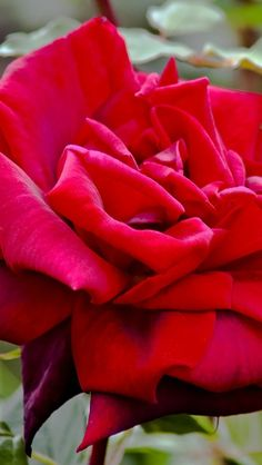 royal William rose | Amazing Flowers Photography  [per previous pinner]