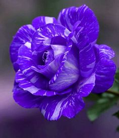 Beautiful Rose Flowers, Most Beautiful, Special Flowers, All Things Purple, Purple Roses, Favorite Color, Flower Arrangements, Spring, Pretty