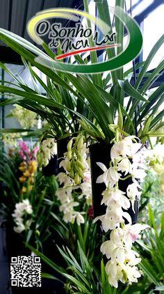 Plantas Exterior - Cymbidium Cascade