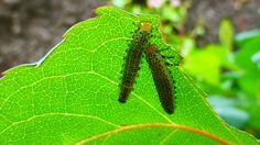 caterpillar under a leaf