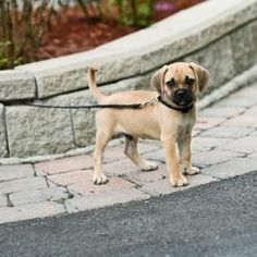 Leash train your puppy before leaving the backyard.